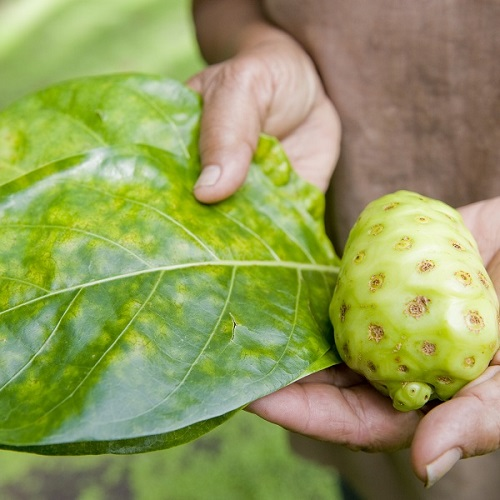 Elements of noni: the noni leaf article image