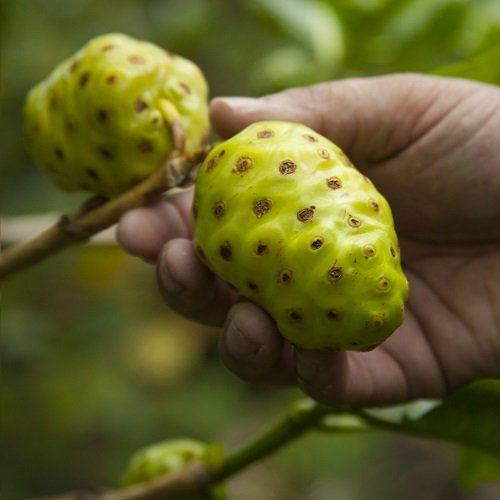 TAHITIAN NONI JUICE: FROM TREE TO BOTTLE article image